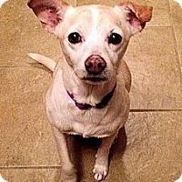 Adopt A Pet :: Trinket - Hagerstown, MD