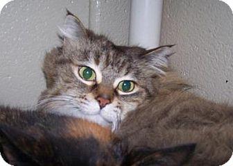 Domestic Longhair Cat for adoption in Jackson, Michigan - Ellie