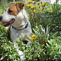 Adopt A Pet :: Maggie - Midway City, CA