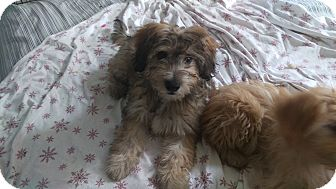 Wheaten Terrier/Poodle (Miniature) Mix Puppy for adoption in Hollywood, California - Harry