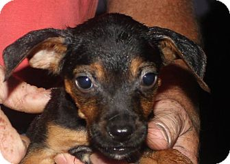 Miniature Pinscher Mix Puppy for adoption in Colonial Heights, Virginia - Midget