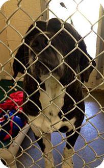 St. Bernard/Newfoundland Mix Dog for adoption in Pittsburgh, Pennsylvania - Darby