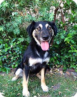 Shepherd (Unknown Type) Mix Puppy for adoption in Corona, California - LEYLA