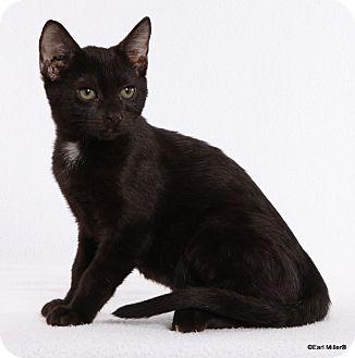 Domestic Shorthair Cat for adoption in Las Vegas, Nevada - Keld