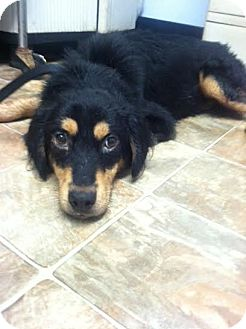 German Shepherd Dog Mix Dog for adoption in Darlington, South Carolina - Archie