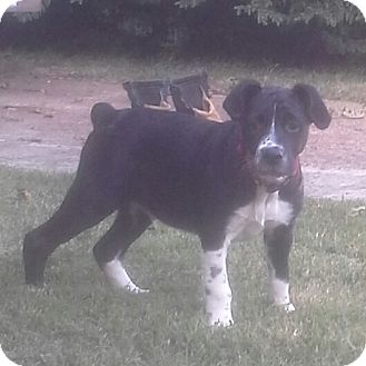 Labrador Retriever/Border Collie Mix Puppy for adoption in Newburgh, New York - HOUSTON