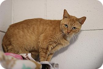 Domestic Shorthair Cat for adoption in Midland, Michigan - Lexy - NO FEE