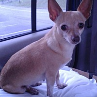 Chihuahua Dog for adoption in Mount Airy, North Carolina - Audrey