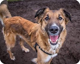 Collie/Shepherd (Unknown Type) Mix Dog for adoption in Bellingham, Washington - Copper