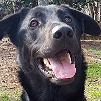 Labrador Retriever Mix Dog for adoption in Roswell, Georgia - Zeus