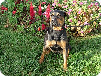 Rottweiler Mix Dog for adoption in Cameron, Missouri - Zelda