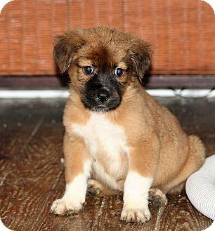 Shepherd (Unknown Type)/Labrador Retriever Mix Puppy for adoption in Hayes, Virginia - Henrietta