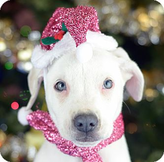 Labrador Retriever/Terrier (Unknown Type, Small) Mix Puppy for adoption in LAFAYETTE, Louisiana - RUDY