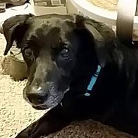 Labrador Retriever Mix Dog for adoption in Crestview, Florida - Missy