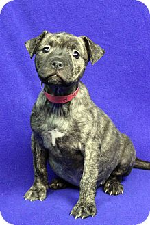Shepherd (Unknown Type)/American Staffordshire Terrier Mix Puppy for adoption in Westminster, Colorado - Suzie