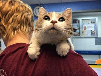 Domestic Mediumhair Cat for adoption in Canfield, Ohio - CHERRY