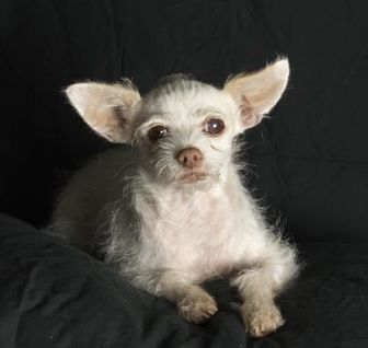 Chihuahua/Terrier (Unknown Type, Small) Mix Dog for adoption in Santa Paula, California - Astor