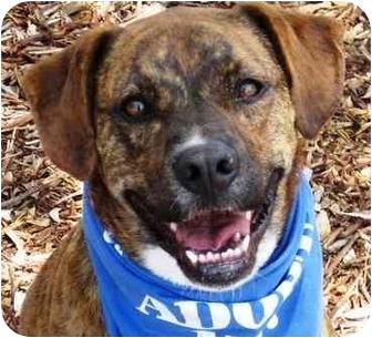 Boxer Mix Dog for adoption in San Diego, California - Hollie
