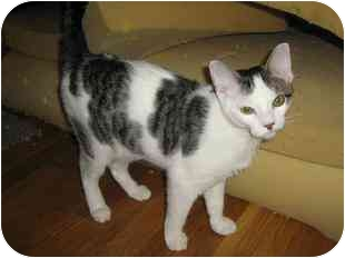 Domestic Shorthair Cat for adoption in Medford, Massachusetts - Cookie