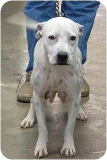 Boxer/Dalmatian Mix Dog for adoption in Inman, South Carolina - Janis