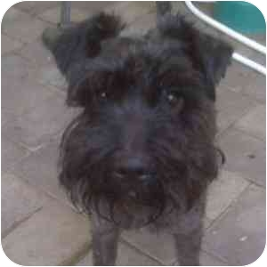 Schnauzer (Miniature) Dog for adoption in Redondo Beach, California - Elvis