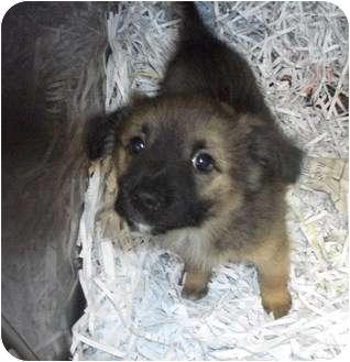 Keeshond/American Eskimo Dog Mix Puppy for adoption in Edwardsville, Illinois - Fiona