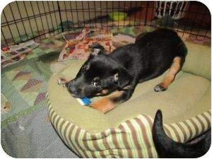 Australian Cattle Dog Mix Puppy for adoption in Marlton, New Jersey - Jack