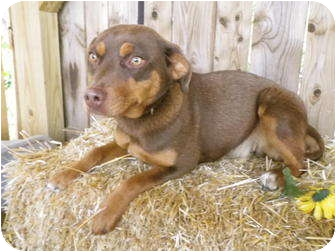 Miniature Pinscher/Hound (Unknown Type) Mix Dog for adoption in Metamora, Indiana - Shylow