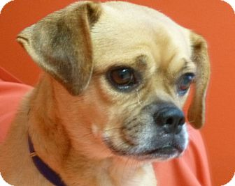Pug Mix Dog for adoption in Philadelphia, Pennsylvania - Googles