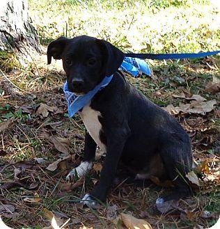 Boston Terrier/Labrador Retriever Mix Puppy for adoption in Harrisonburg, Virginia - Hamhock ($50.00 off)