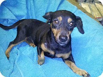 Dachshund/Pekingese Mix Dog for adoption in Houston, Texas - Kujo