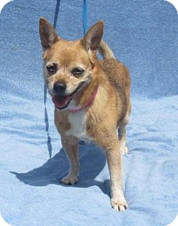 Chihuahua Mix Dog for adoption in Quentin, Pennsylvania - Diamond - Just Darling!