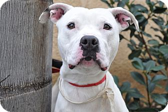 American Bulldog/American Pit Bull Terrier Mix Dog for adoption in San Diego, California - Mickey URGENT