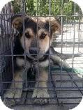 German Shepherd Dog Mix Puppy for adoption in Las Vegas, Nevada - R's Raydor