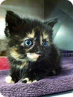 Domestic Shorthair Kitten for adoption in Franklin, Indiana - Sahara