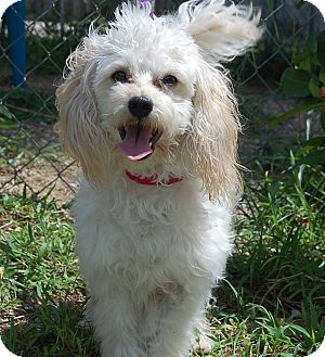 Poodle (Standard) Mix Puppy for adoption in Bradenton, Florida - Dillon