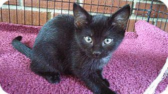 Domestic Shorthair Kitten for adoption in Randolph, New Jersey - Sue' Black Female Kitten