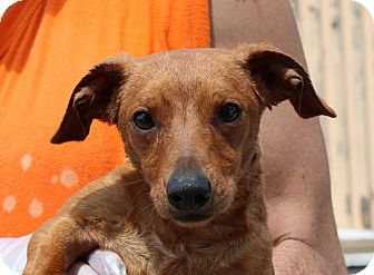 Dachshund Mix Dog for adoption in Staunton, Virginia - Ninja Norman