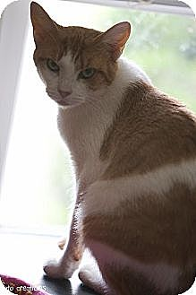 Domestic Shorthair Cat for adoption in Olive Branch, Mississippi - Lady Marmalade (Nelson foster)