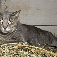 Domestic Shorthair Cat for adoption in Waynesville, North Carolina - Toby