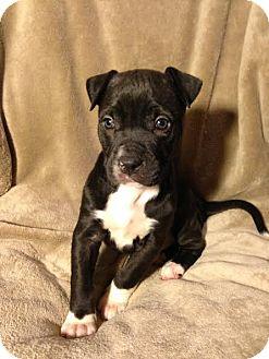 Labrador Retriever/Pit Bull Terrier Mix Puppy for adoption in waterbury, Connecticut - Huntsman