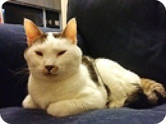 Domestic Shorthair Cat for adoption in Vancouver, British Columbia - Frisner