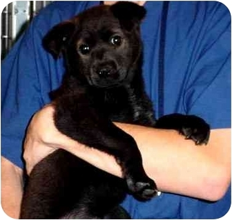 Shepherd (Unknown Type) Mix Puppy for adoption in Tracy, California - cookie
