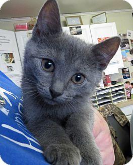 Domestic Shorthair Kitten for adoption in Middletown, New York - Ramona