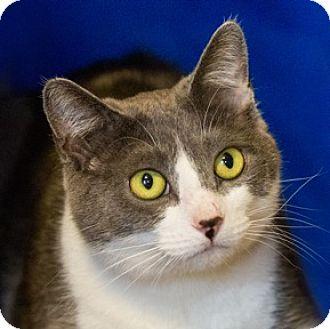 Domestic Shorthair Cat for adoption in Calgary, Alberta - Moon