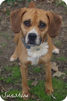Boxer/Beagle Mix Dog for adoption in Youngstown, Ohio - Sunny ~ Adoption Pending