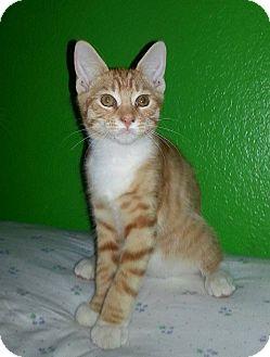 Domestic Mediumhair Kitten for adoption in Woodland, California - Socks