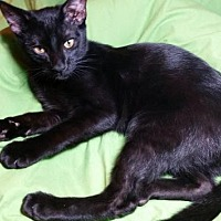 Domestic Shorthair Cat for adoption in Sarasota, Florida - Fabio