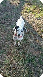 Blue Heeler Dog for adoption in Manhasset, New York - Holly