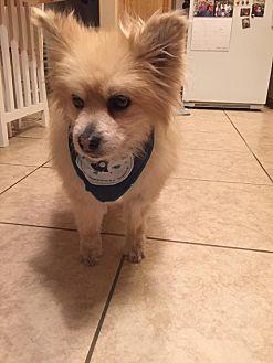 Pomeranian Dog for adoption in Henderson, Nevada - Buddy 2